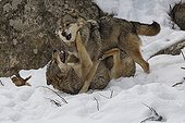 Interaction between Wolves in the snow - Pyrenees France