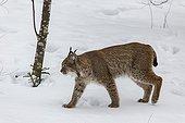 Eurasian lynx walking in snow - Sumava Czech Republic