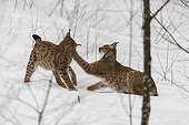 Interaction between Lynx in snow - Sumava Czech Republic
