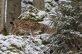 Lynx in the woods in winter - Bayerischerwald Germany