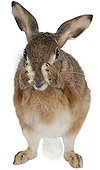 Brown Hare grooming on a white background