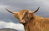Portrait Cow Highland - Scotland