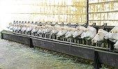 Charolais heifers to cornadis - France