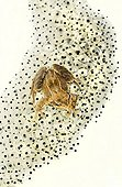 Frog on gelatinous mass of eggs on white background