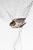 Barn Swallow in a net for tagging on white background