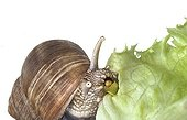 Burgundy snail eating a lettuce leaf on white background ; mouth wide open where we see the rasp of the radula