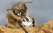Honeybee putting a drop of nectar in a cell - France