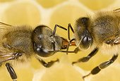 Trophallaxie between honey bees on cell - France