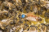 Queen honeybee marked on cells and workers - France