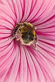 Honey bee foraging a Hollyhock - France