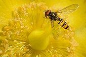 Hoverfly on flower Hypericum - France