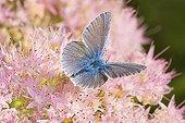 Argus Azure blue on Stonecrop flower - France