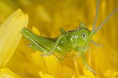 Green grasshopper on flower Dandelion - France