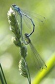 White-legged damselfly mating on ear of grass