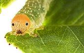 Rose sawfly larvae on leaf