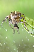 Spider capturing a fly in its web - France