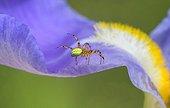 Spider on Iris flower - France