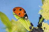 7 points ladybug eating black Aphids - France