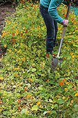 Engrais vert de Capucine au jardin