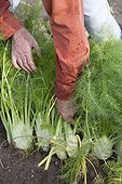 Harvest of Florence fennels in a kitchen garden