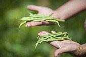 Harvest and comparison between green beans varieties