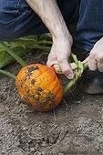 Récolte d'un Potimarron au potager ; Lorsque le temps est humide, il faut cueillir le fruit sans tarder, surtout lorsque le pédoncule est dur comme du bois, signe de la maturation du fruit.