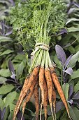 Harvest of young carrots in a kitchen garden