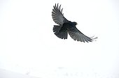 Alpine Chough in flight in the snow - France