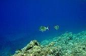 Seabreams swimming above the bottom - Mediterranean Sea