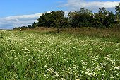 German Chamomile meadow flowers - Alsace France