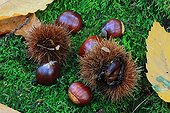 Chestnuts on undergrowth mousse - Alsace France