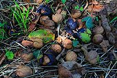 Nuts on ground - Alsace France