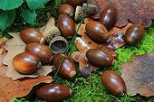 English oak acorns in the undergrowth - Alsace France