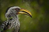 Portrait of Southern Yellow-billed Hornbill - Kruger RSA