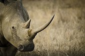 Portrait of White Rhino - Hluhluwe–Umfolozi South Africa