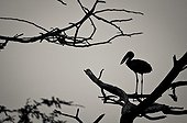 African Openbill in a tree - uMkhuze Game Reserve