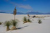 Soaptree Yucca on sand dune - White Sands NM New Mexico