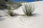 Soaptree Yucca on sand dune - White Sands NM New Mexico ; Buried under the dune. Leaves used by Amerindians to make sandals, cloth and cords. Roots used as the soap and shampoo.