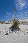 Soaptree Yucca on sand dune - White Sands NM New Mexico ; Leaves used by Amerindians to make sandals, cloth and cords. Roots used as the soap and shampoo.