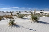 Soaptree Yucca and Hoary Rosemary-Mint - White Sands NM