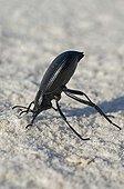 Dune darkling beetle head-stand posture - White Sands NM