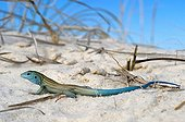 Little white whiptail lizard - White Sands NM