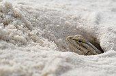 White sands Prairie Lizard - White Sands NM New-Mexico