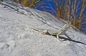 Bleached earless Lizard - White Sands NM New-Mexico