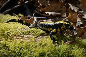 Speckled Salamander eating a Night Crawler - Poitou France