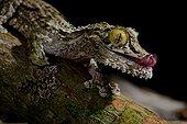 Portrait of Mossy leaf-tailed gecko on a branch - Madagascar