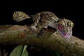 Mossy leaf-tailed gecko on a branch - Madagascar