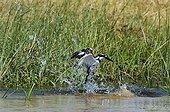 Pied Kingfisher fishing - Chobe Botswana