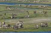 Burchell's Zebras grazing on bank - Chobe Botswana