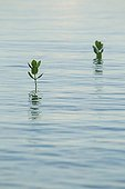 Young mangrove trees growing in the water - Alor Indonesia